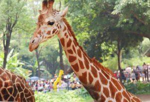 Take new Sammy's Milk Singles to San Diego Zoo and Safari Park
