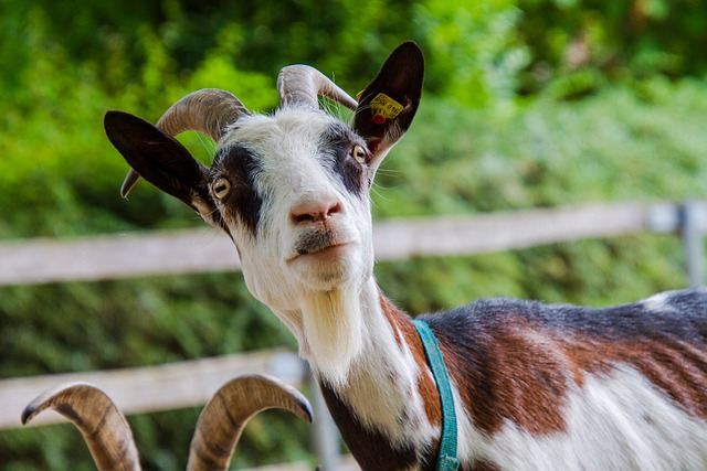 goat milk is booming